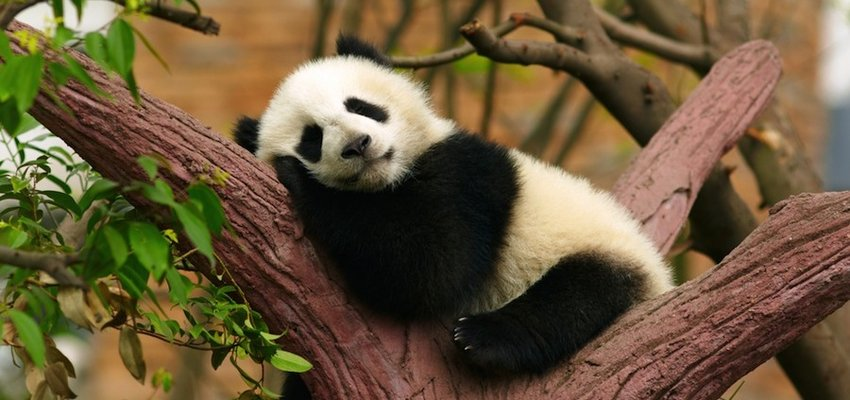 SleepingPandaBaby-850x400